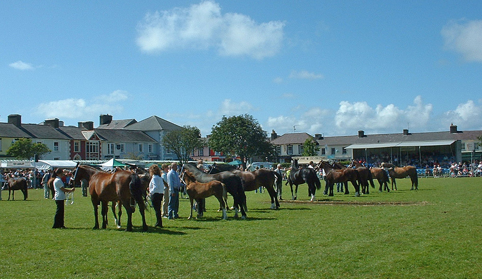 Welsh cob breed display, showing mares, foals and youngstock