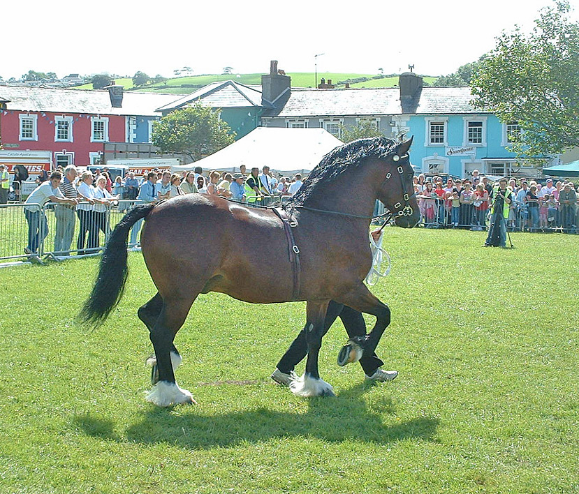 Fronarth Welsh Lion at Aberaeron Festival, Running of the stallions, 2007.