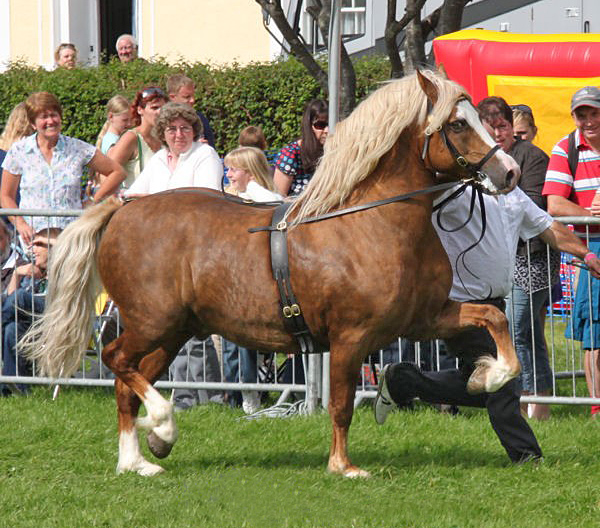 Carneuadd Hywel, Walena Stud shown by Mathew Dixon in 2012.